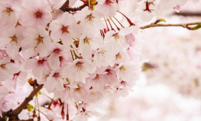 cherry blossoms startwithfourwalls.com